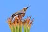 GilaWoodpecker-AZ-2015-007