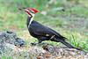 PileatedWoodpecker-MeadGardens-4-16-19-SJS-013