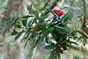 PiliatedWoodpecker-CorkscrewSwampFL-1-27-17-SJS-05