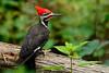 PileatedWoodpecker-GatorlandOrlandoFL-4-13-17-SJS-005