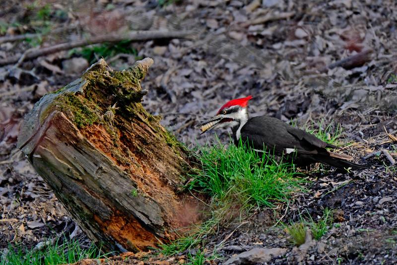 PileatedWoodpecker-Male-2016-sjs-027