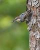 BrownheadedCowbird-FallingWatersSP-FL-8-19-20-sjs-004