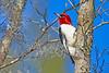 RedHeadedWoodpecker-NewberryFl-1-24-17-SJS-13