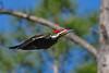 PileatedWoodpecker-SawgrassIsland-3-12-20-SJS-001