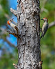 RedBelliedWoodpecker-LakeYale-11-24-19-SJS-006