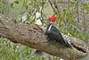 PileatedWoodpecker-ApopkaFL-1-20-18-SJS-009