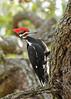 PileatedWoodpecker-ApopkaFL-1-20-18-SJS-035