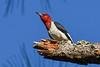 RedHeadedWoodpecker-OcalaNF-9-25-20-sjs-03