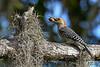 RedBelliedWoodpecker-EmeraldaMarsh-10-10-19-SJS-001