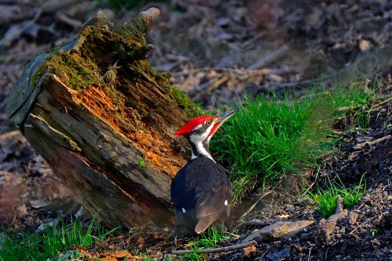 PileatedWoodpecker-Male-2016-sjs-012