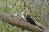 PileatedWoodpecker-ApopkaFL-1-20-18-SJS-003