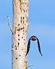 RedHeadedWoodpecker-OcalaNF-7-15-2020-SJS-07