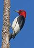 RedHeadedWoodpecker-OcalaNF-6-17-20-SJS-02