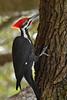 PileatedWoodpecker-ApopkaFL-1-20-18-SJS-027