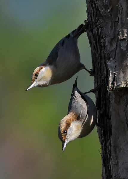 Brown-HeadedNuthatch-TosohatcheeWMA-1-3-19-SJS-009