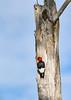 RedHeadedWoodpecker-OcalaNF-7-2-20-sjs-011