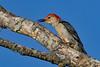 RedBelliedWoodpecker-LAWD-7-19-19-SJS-003