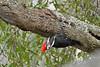 PileatedWoodpecker-ApopkaFL-1-20-18-SJS-012
