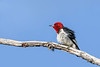 RedHeadedWoodpecker-OcalaNF-7-2-20-sjs-006