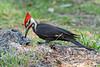 PileatedWoodpecker-MeadGardens-4-16-19-SJS-012