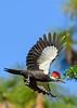 PileatedWoodpecker-MeadGardens-4-16-19-SJS-025