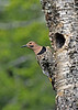 NorthernFlicker-CranberryGlades-6-25-17-SJS-023