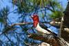 RedHeadedWoodpecker(male)-OcalaNF-5-11-20-SJS-03