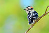 DownyWoodpecker(male)-OcalaNF-9-9-20-sjs-005