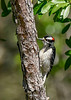 DownyWoodpecker(male)-OcalaNF-5-7-20-SJS-02
