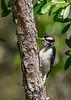 DownyWoodpecker(male)-OcalaNF-5-7-20-SJS-02