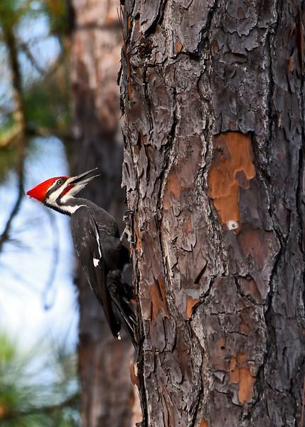 PileatedWoodpecker(male)-OcalaNF-11-8-18-SJS-007