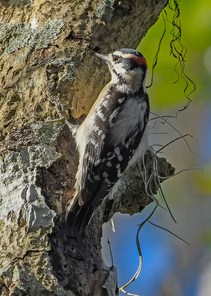 DownyWoodpecker-LakeLouisaSP-11-21-19-SJS-001