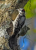 DownyWoodpecker-LakeLouisaSP-11-21-19-SJS-001