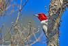 RedHeadedWoodpecker-NewberryFl-1-24-17-SJS-22