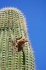 GilaWoodpecker-AZ-2015-003