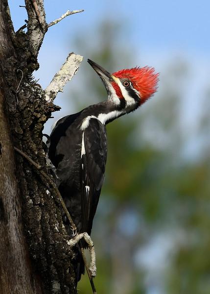 PileatedWoodpecker-OcalaNF-1-13-20-SJS-011