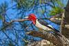 RedHeadedWoodpecker(male)-OcalaNF-5-11-20-SJS-04