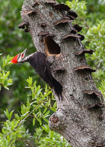 PileatedWoodpecker-MeadGardens-4-16-19-SJS-003