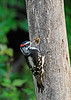 DownyWoodpecker-Male-IHSA-7-4-17-SJS-001
