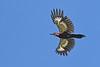 PiliatedWoodpecker-OcalaNF-6-21-20-SJS-06