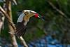 RedHeadedWoodpecker-OcalaNF-7-4-20-sjs-003