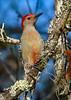 RedBelliedWoodpecker-OcalaNF-1-5-20-SJS-003