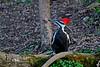 PileatedWoodpecker-Female-2016-sjs-003