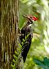 PileatedWoodpecker-GatorlandOrlandoFL-4-13-17-SJS-010