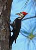 PileatedWoodpecker(male)-OcalaNF-11-8-18-SJS-002