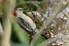 RedBelliedWoodpecker-LAWD-2-3-18-SJS-003