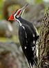 PileatedWoodpecker-ApopkaFL-1-20-18-SJS-031