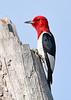 RedHeadedWoodpecker-OcalaNF-7-2-20-sjs-026