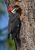 PileatedWoodpecker(female)-LakeYale-11-11-20-sjs-04