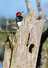 RedHeadedWoodpecker-ClearwaterLake)NF-1-26-20-SJS-001